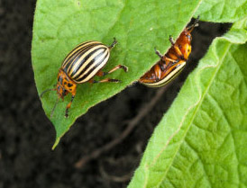 Potato Beetle, adaptable to climate change